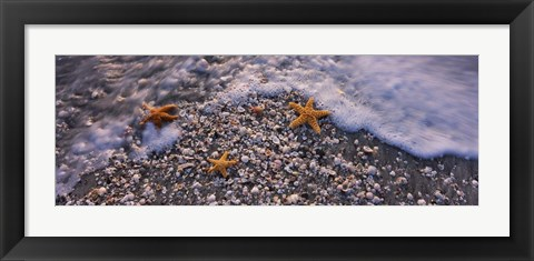 Framed Starfish on a Beach, Gulf Of Mexico, Florida Print