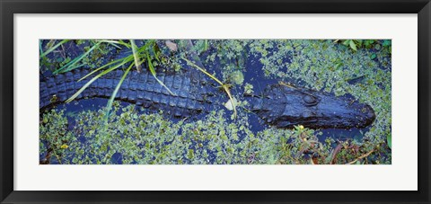 Framed Alligator Swimming in a River, Florida Print