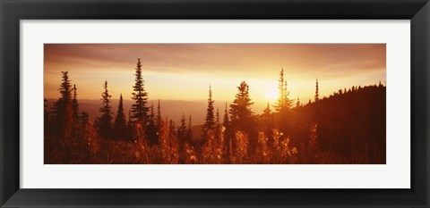 Framed Firweed At Sunset, Montana Print