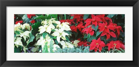 Framed Red And White Poinsettias Print