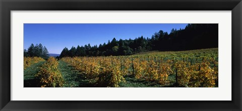 Framed Vineyard in Fall, Sonoma County, California Print