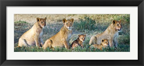 Framed African Lion (Panthera leo) family in a field, Ndutu, Ngorongoro Conservation Area, Tanzania Print