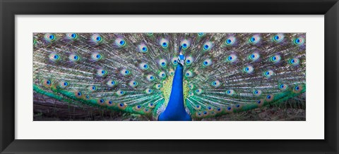 Framed Dancing Peacock, India Print