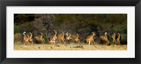 Framed Black-Faced Impala, Etosha National Park, Namibia Print