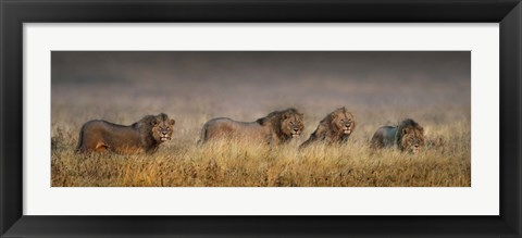 Framed African Lions, Ngorongoro Conservation Area, Tanzania Print