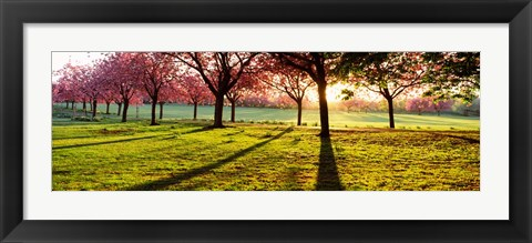 Framed Cherry Blossoms in a Park, England Print