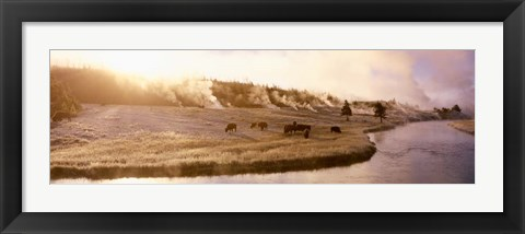 Framed Bison Firehole River, Yellowstone National Park, WY Print