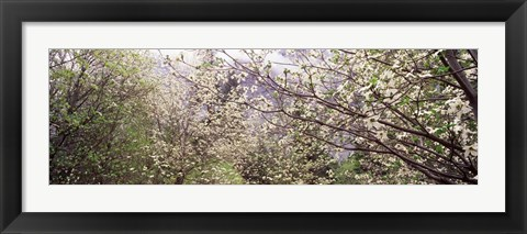 Framed Dogwood Trees, Yosemite National Park, California Print
