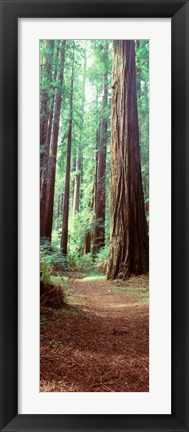 Framed Redwood Trees, St Park Humbolt, CO Print