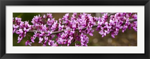 Framed Redbud Tree Blossoms Print
