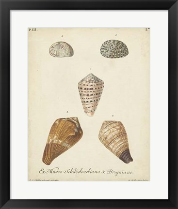 Framed Antique Knorr Shells I Print