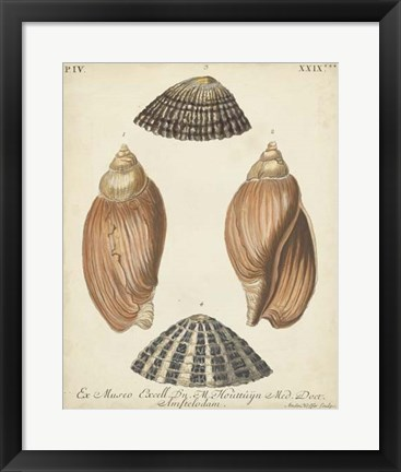 Framed Antique Knorr Shells V Print
