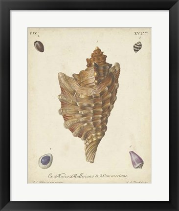 Framed Antique Knorr Shells VI Print