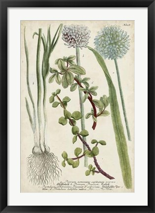 Framed Allium Print