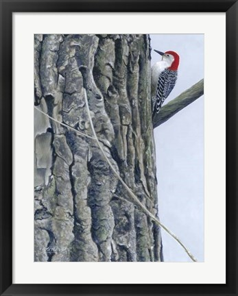 Framed Red Bellied Woodpecker II Print
