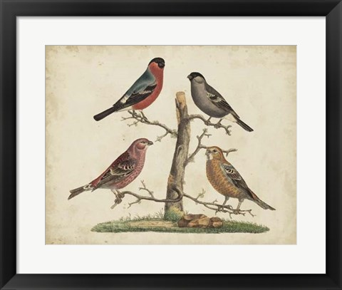 Framed Bull Finches Print