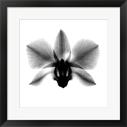 Framed Orchid, Phalenop. X-Ray Print