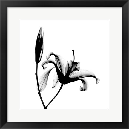 Framed Lily  + Bud X-Ray Print