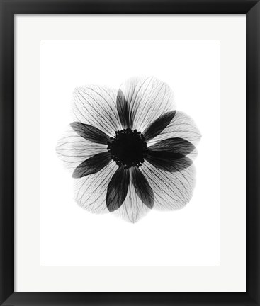Framed Anemone  X-Ray Print