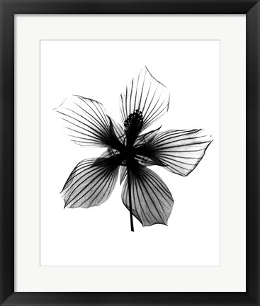 Framed Hibiscus, Texas Star X-Ray Print