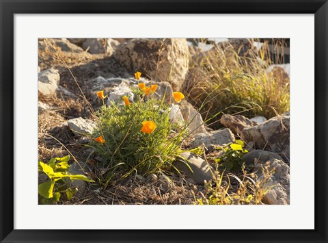Framed Bloomin Poppies Print