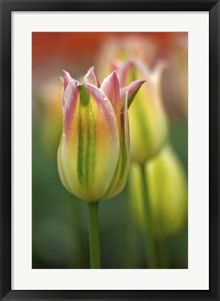 Framed Tulip No 4 Print