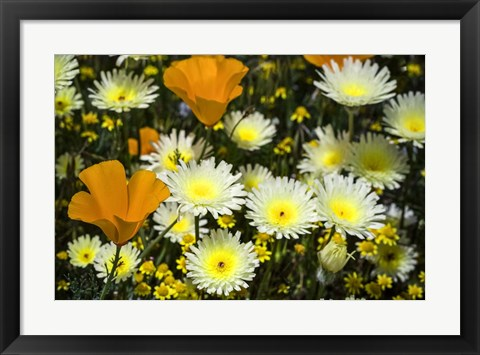 Framed Poppies and Daisies Print