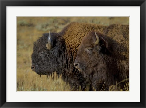 Framed Bison Duo Print