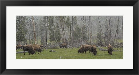 Framed Bison Grazing in Snow Print
