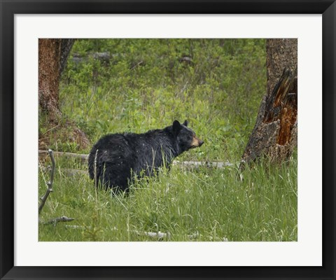 Framed Black Bear Sow Watching Cubs Print