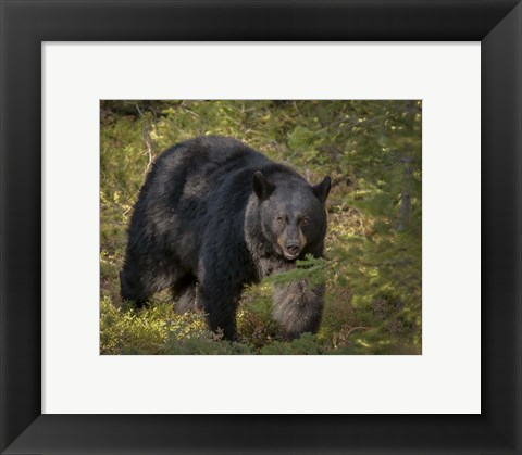 Framed Black Bear Sow Print