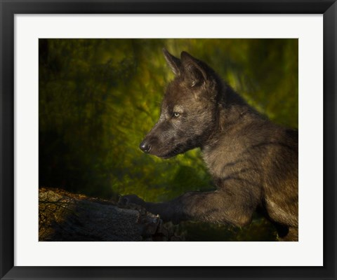 Framed Black Wolf Pup Print