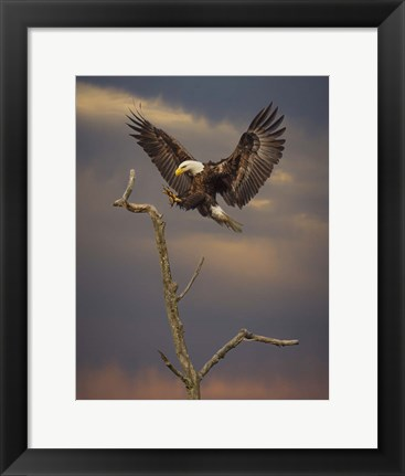 Framed Eagle Landing on Branch Print