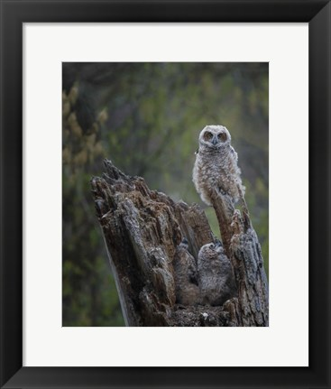 Framed Great Horned Owlets Print