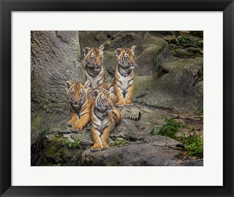 Framed Malayan Tiger Cubs Oil Paint Print