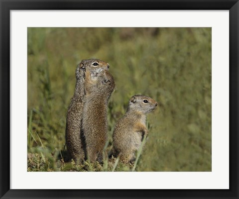 Framed Ground Squirrel Baby Kisses Mom Print