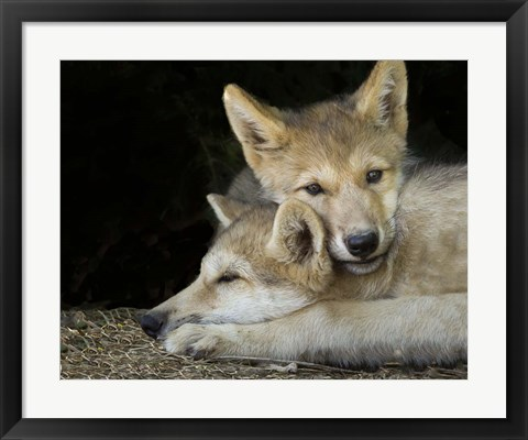 Framed Wolf Pup Brothers Print