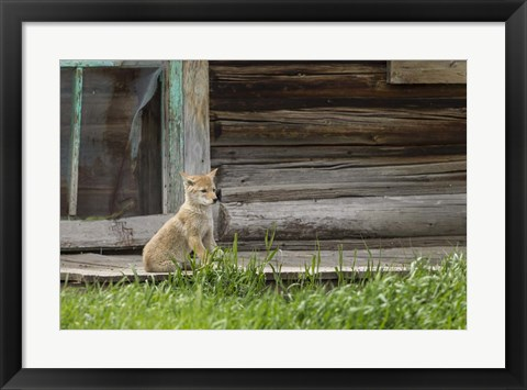 Framed Coyote By Log Cabin Door Print