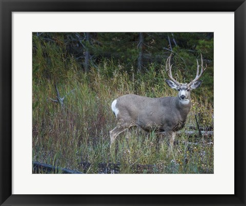 Framed Mule Deer Buck Print
