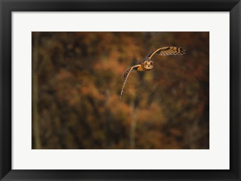 Framed Short Eared Owl Print