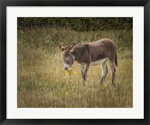 Framed Young Burro Print