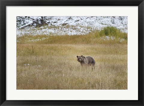 Framed Young Grizzly In Yellowstone Print