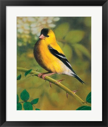 Framed Gold Finch Print