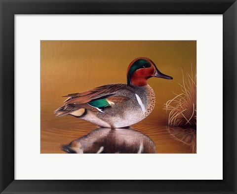 Framed Green Winged Teal Print
