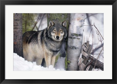 Framed Lone Wolf in the Snow Print