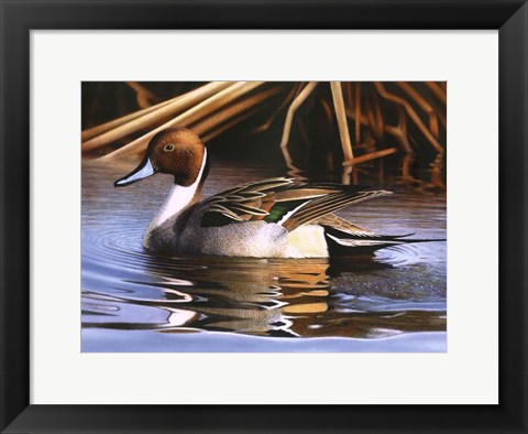 Framed Northern Pintail I Print