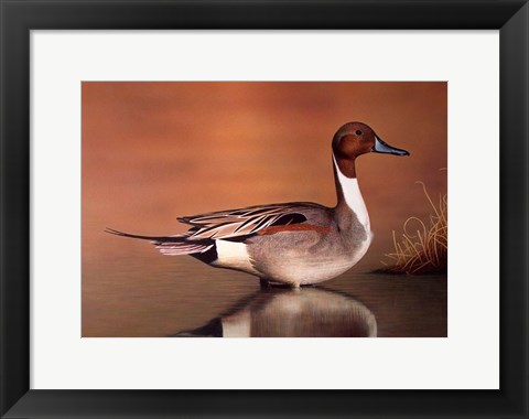 Framed Northern Pintail II Print