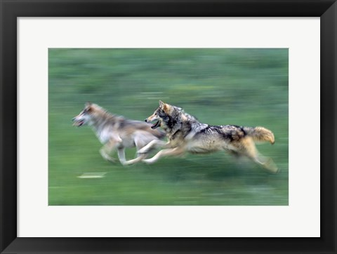 Framed Running Wolves Print