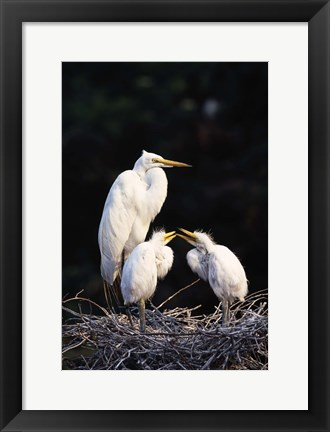 Framed Mom and Baby Pelicans Print