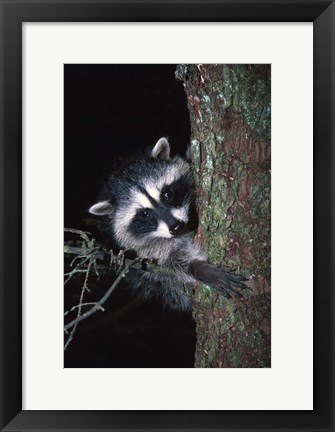Framed Raccoon Peaking out from Tree Print